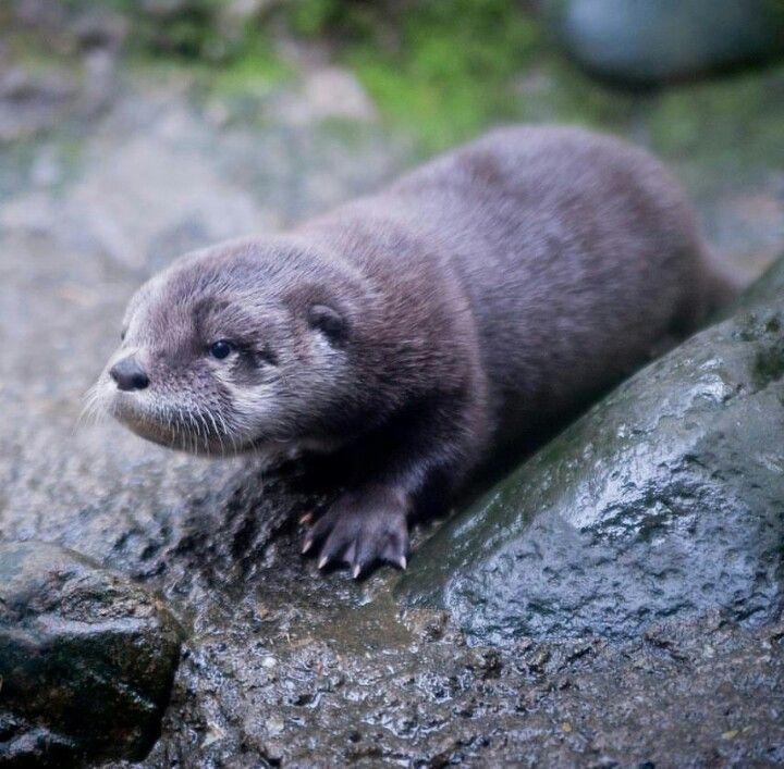 Baby Otter from the Oregon Zoo! 5 October 2015 ...