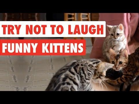 Try Not To Laugh Funny Kittens Video Compilation 2017 Youtube
