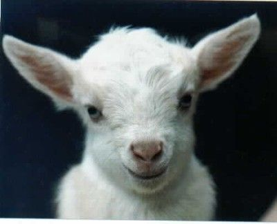 Cute baby goat 1
