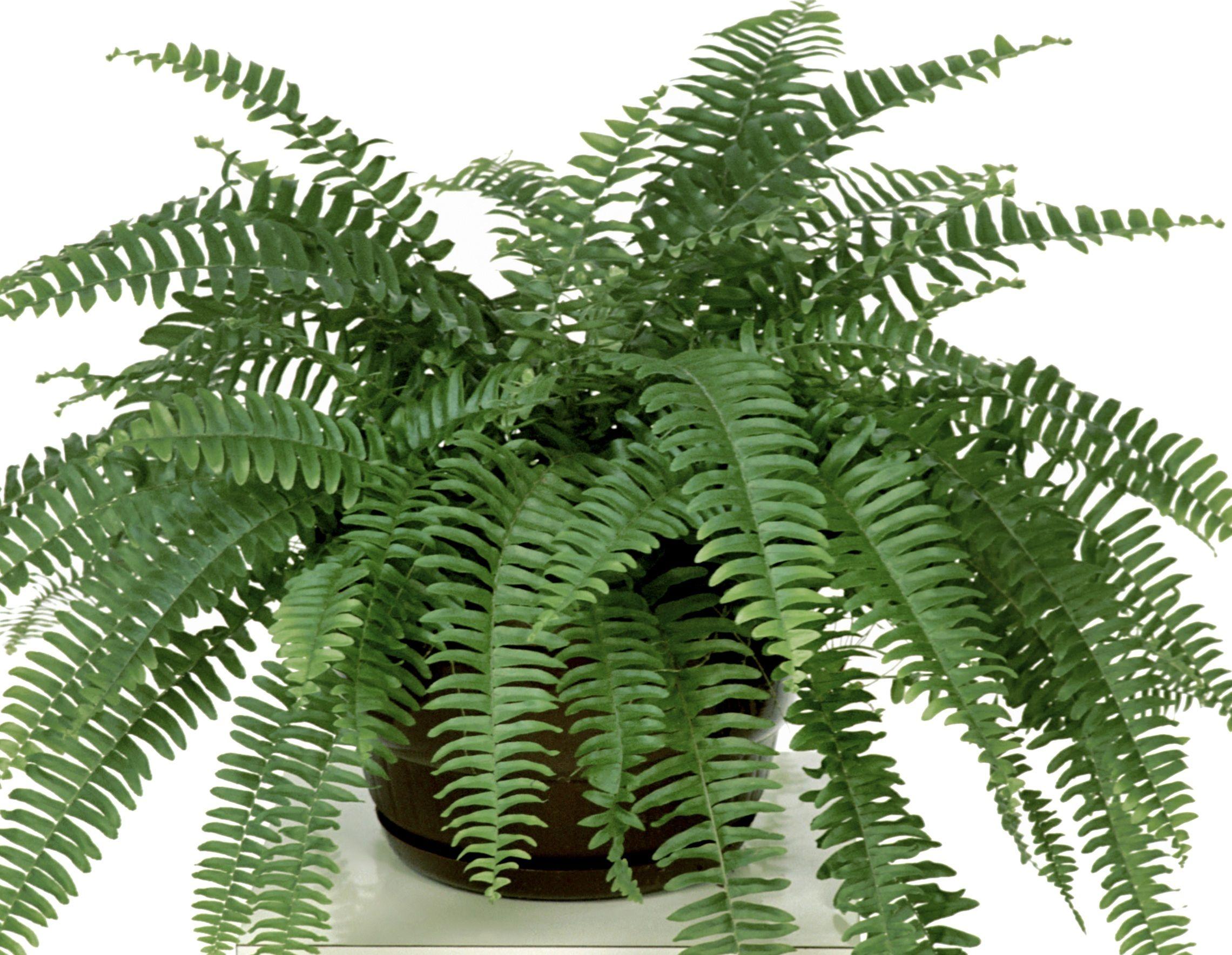 Nevada 2281 1769 nephrolepis exaltata culitivars - Plantas de interior resistentes ...