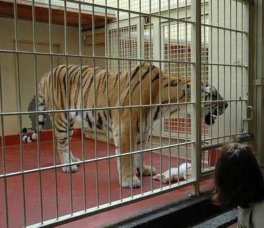 lion house | Tiger attack, Animal attack, Tiger