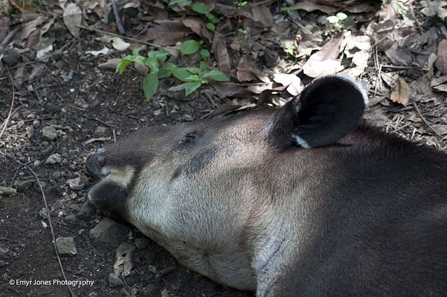 Tapir at Xcaret | Flickr - Photo Sharing!