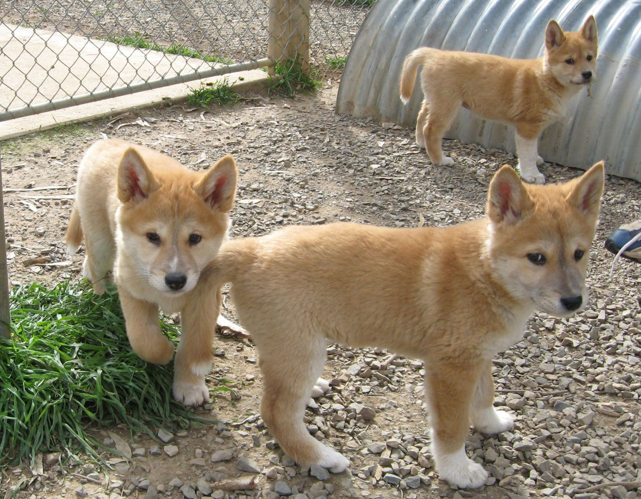 baby dingos i wish they were in the us i d rescue one animals