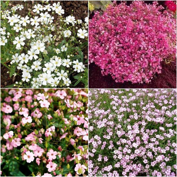 Babys Breath Seeds Mixed Gypsophila Elegans Light Pink Flowers Babys Breath