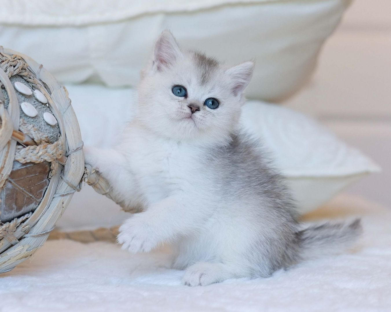 British Shorthair Longhair Cats Kittens in 2020 Cats and