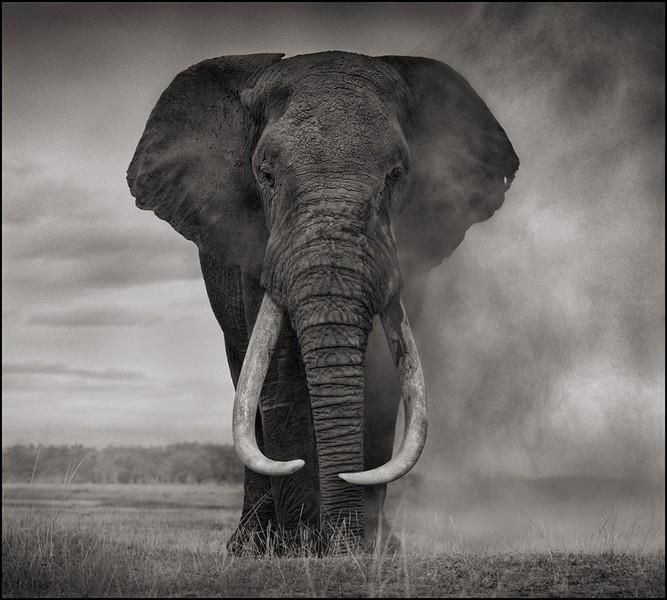 Célèbre Portrait of Elephant in Dust, Amboseli (END OF SUMMER SALE  GQ97