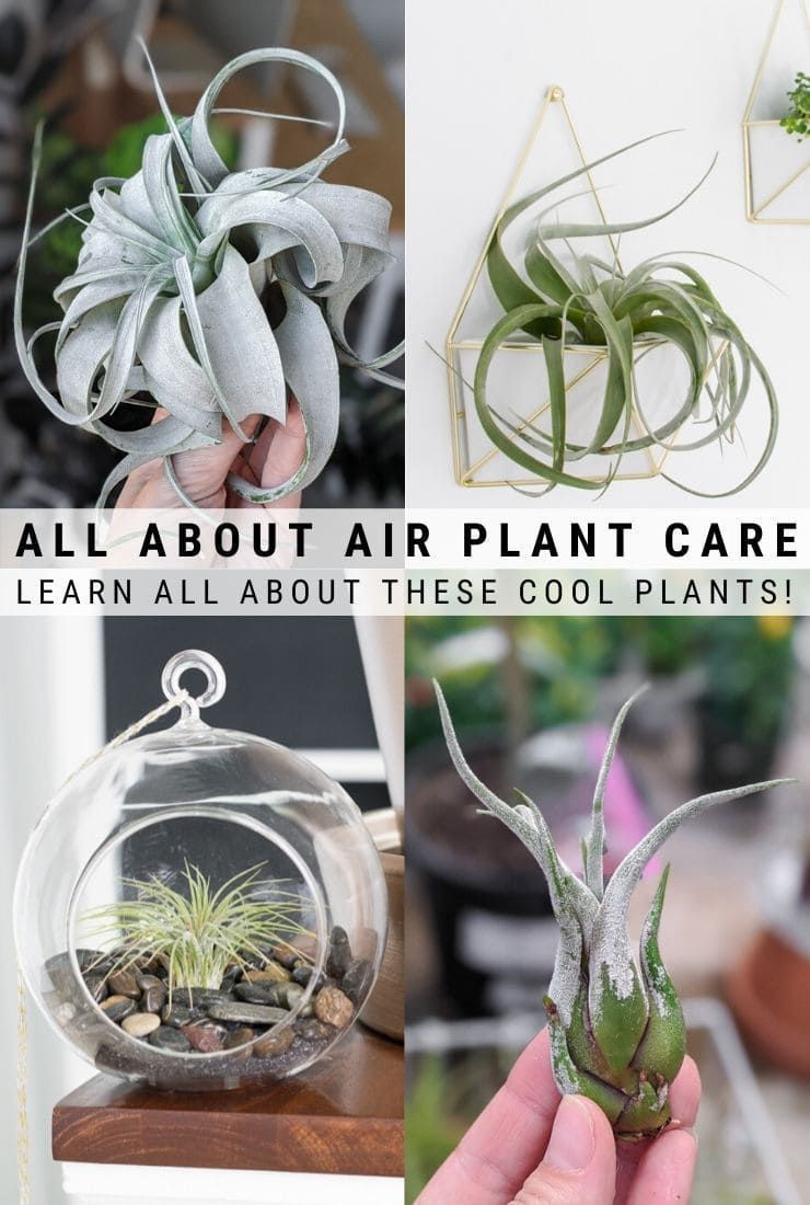 How To Care For Air Plants The Definitive Guide For Indoor Air Plant Care In 2020 Air Plants Care Air Plant Flower Air Plants