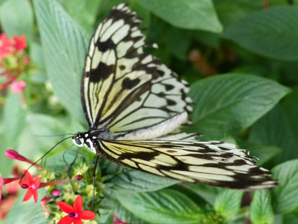 Schmetterling Schmetterling
