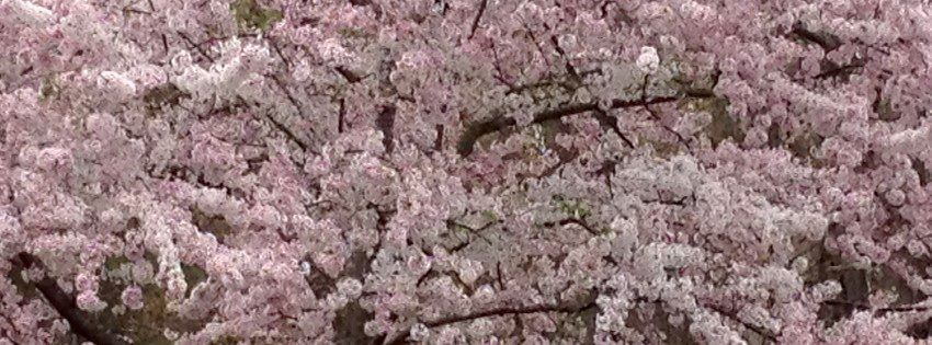 Cherry Blossoms At The Canon Plant In Newport News Newport News Newport Plants