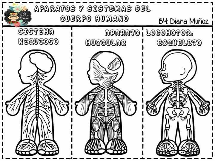 Pin De Erika Fernanda En Education Sistemas Del Cuerpo Humano