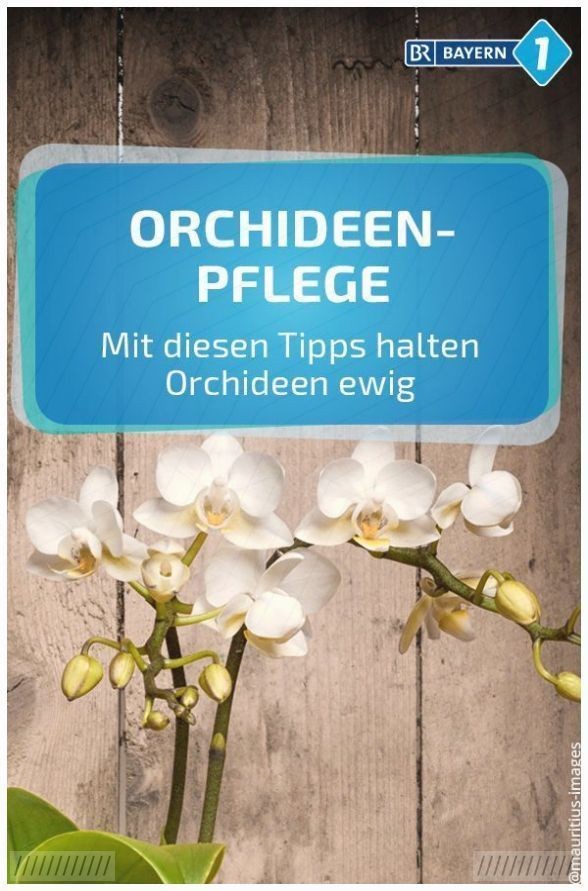 Orchideen Pflege: Mit diesen Tipps haben Sie mehr von Ihrer Orchidee #orchideenpflege Wann sollte man eine Orchidee umtopfen? Wie erkenne ich eine gesunde Orchidee? Und wann sollte #orchideen #pflege #diesen #tipps #orchideenpflege Orchideen Pflege: Mit diesen Tipps haben Sie mehr von Ihrer Orchidee #orchideenpflege Wann sollte man eine Orchidee umtopfen? Wie erkenne ich eine gesunde Orchidee? Und wann sollte #orchideen #pflege #diesen #tipps #orchideenschneiden Orchideen Pflege: Mit diesen Tipp #orchideenpflege
