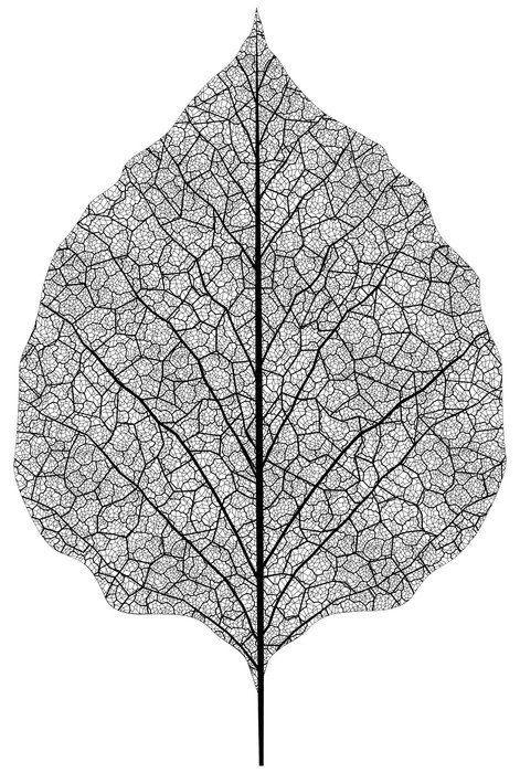 Elle yaprak iskeleti çizilmiş. eps8 vektör Çerçeveli Poster • Pixers® – Haydi dünyanızı değiştirelim