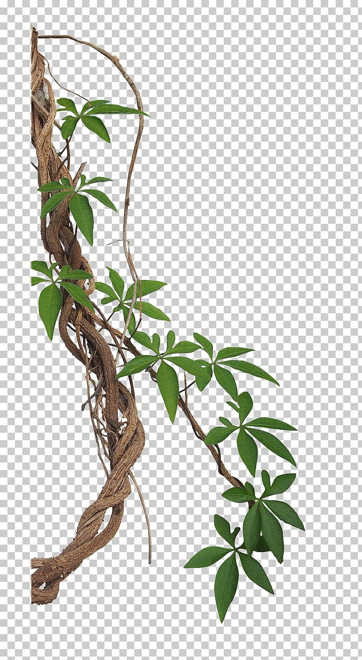 Vine Liana Tropical Rainforest Stock Photography Jungle Jungle Brown Roots And Green Leaves Against Blue Backgro Vine Drawing Leaf Photography Flower Drawing