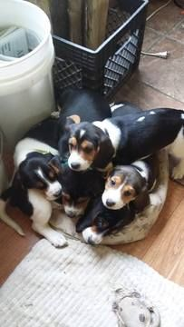Litter Of 5 Beagle Puppies For Sale In Longview Wa Adn 25857 On