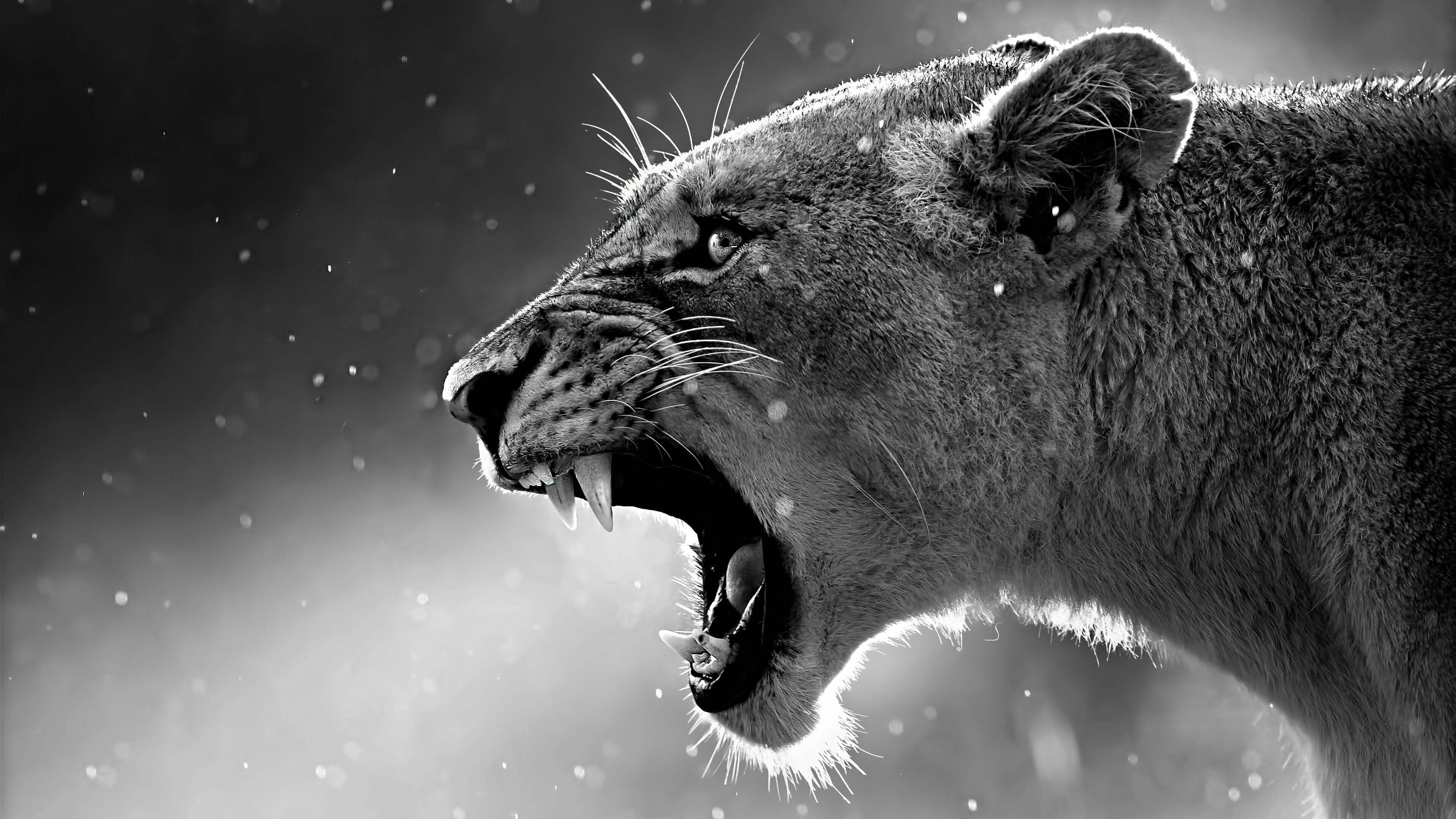 Download Lioness Howl Close Up 4k Wallpaper From Uhd Bla Wings