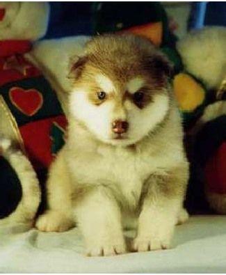 Alaskan Malamute Dog Photo Buying An Alaskan Malamute Puppy