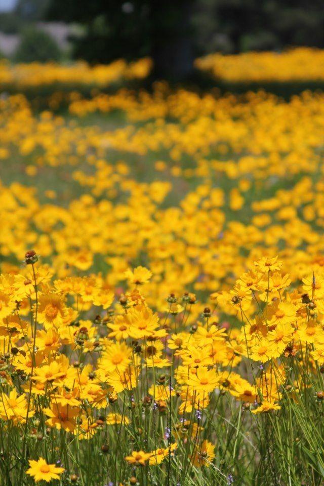 Fiori Gialli Campagna.Texas Wild Flowers Giardini Di Campagna Fields Gardens Giardino