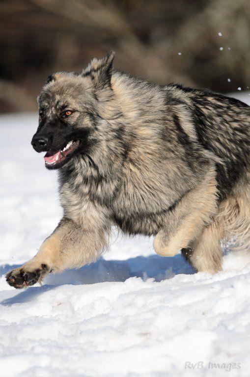 Extrêmement la legende du loup noir | Jyoti | Altdeutsche Schaferhunde  FJ41