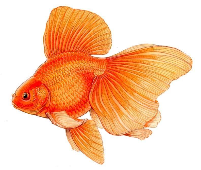 Imagen relacionada | pecesitos | Pinterest | Pez dorado, Arte ...