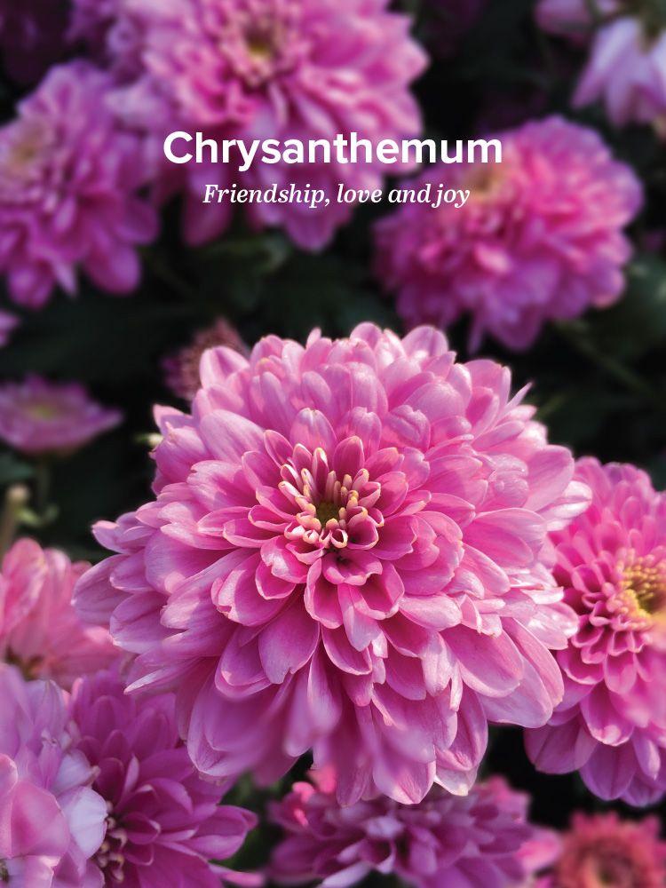 Pin By Amanda Jensen On Tattoo Chrysanthemum Chrysanthemum Meaning Flower Meanings