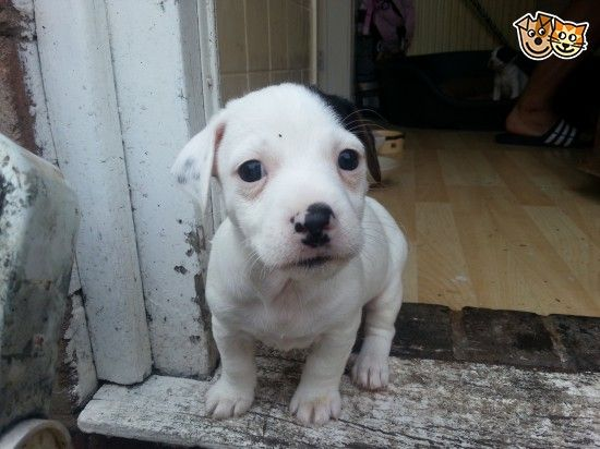 Jack Russell Puppies Birmingham West Midlands Pets4homes