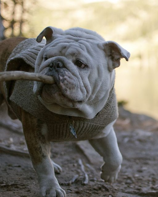 Rembrandt The English Bulldog Fetch Bulldog Baby Dogs Cute
