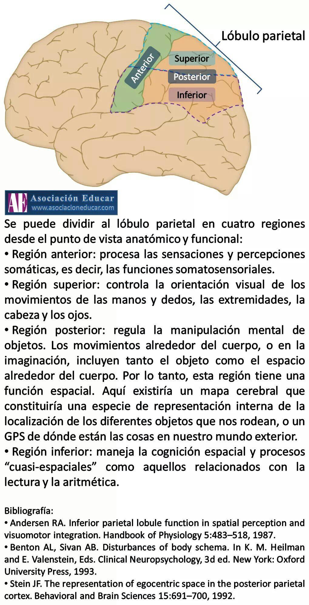 Pin de Sakura Castillo en medicine   Pinterest   Anatomía ...