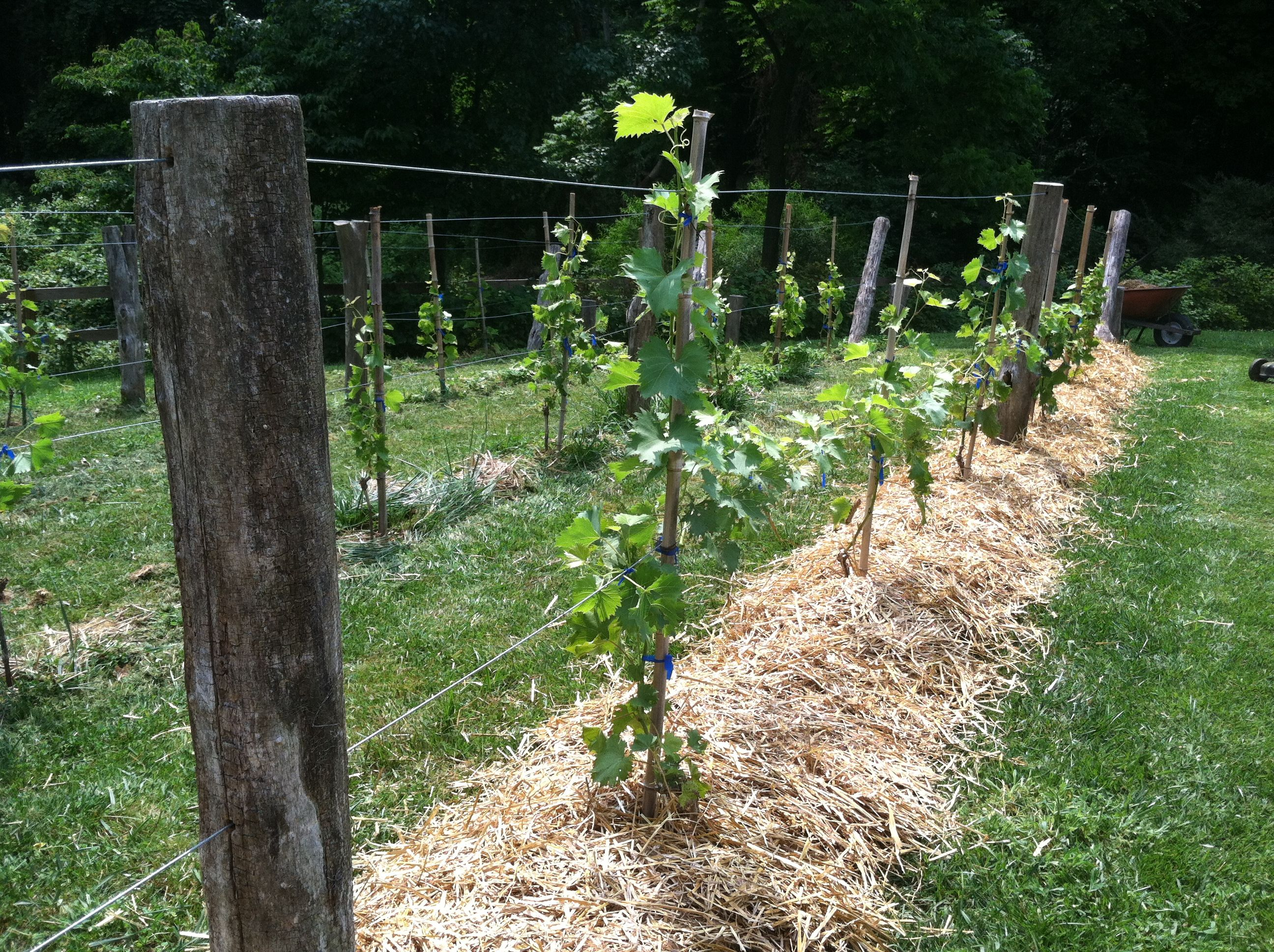 grapevine trellis designs | grape trellis with black locust | Garden ...