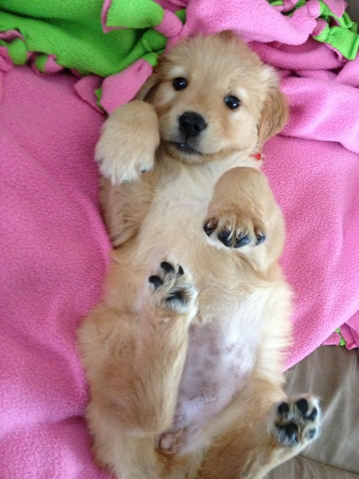 Golden Retriever Cute Dogs Cute Animals Cute Animal Pictures
