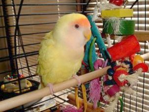 Pet Birds List Pet Birds Buy Online India   Birds   Love birds pet