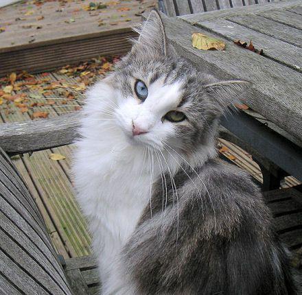 Norwegian Forest Cat Silver Tabby White Odd Eyed Female Blue