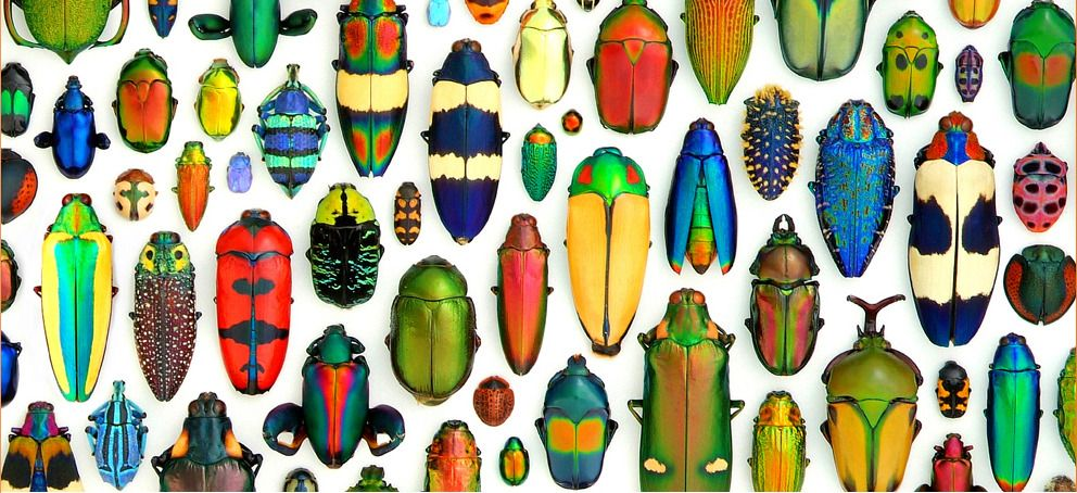 colorful beetles Collected and photographed by Christopher Marley,