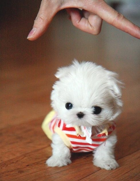 Adorable Small White Dog Puppy Dogs Cute Puppy Pictures Teacup Puppies Maltese Mini Puppies