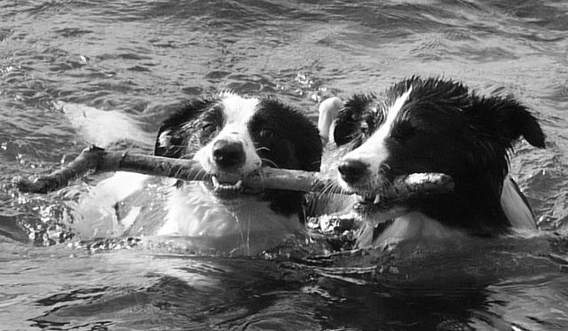Happy dogs sharing a stick.    This Flotation Device Works Really Well! by JJFET, via Flickr