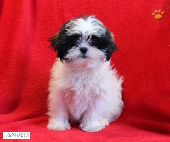 Fluffy Shih Tzu Puppy For Sale In Mifflintown Pa Shih Tzu
