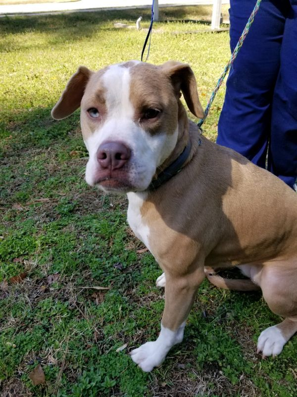 Dogs For Adoption Petfinder Pitbull Puppies For Adoption Dog Adoption American Bulldog