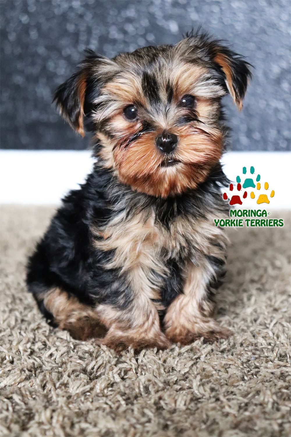 Tiny Teacup Yorkie Puppies For Sale Near Me Cheap : teacup, yorkie, puppies, cheap, YORKIE, PUPPIES, SALE*QUALITY, TEACUP,, PUPPIES*YORKIES, SOUTHERN, CALIFORINA*BOUTIQUE…, Yorkie, Puppy, Sale,, Terrier,, Teacup