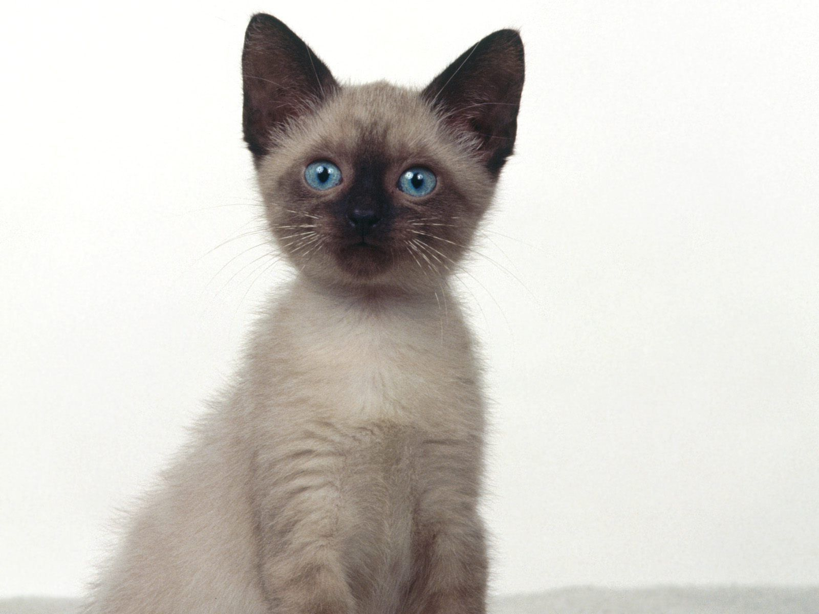siamese Siamese kittens, Siamese cats, Beautiful cat breeds