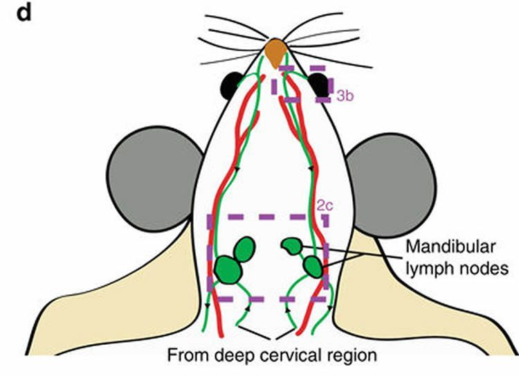 Image shows a diagram of a mouse brain alsneurological diseases image shows a diagram of a mouse brain ccuart Image collections