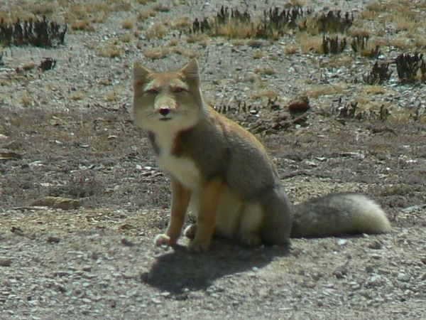 Tibetan Fox 可愛い 動物 動物 アニマル