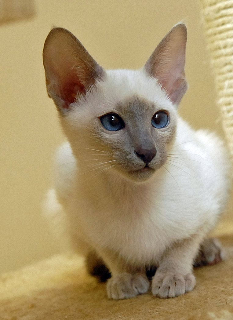 Lilac Point Siamese 2 By Photoboater Siamese Cats Facts Siamese Cats Funny Oriental Shorthair Cats