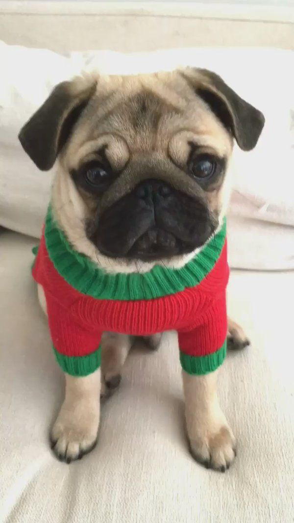Tiny Pug Puppy In A Christmas Sweater Christmas Dog Sweater