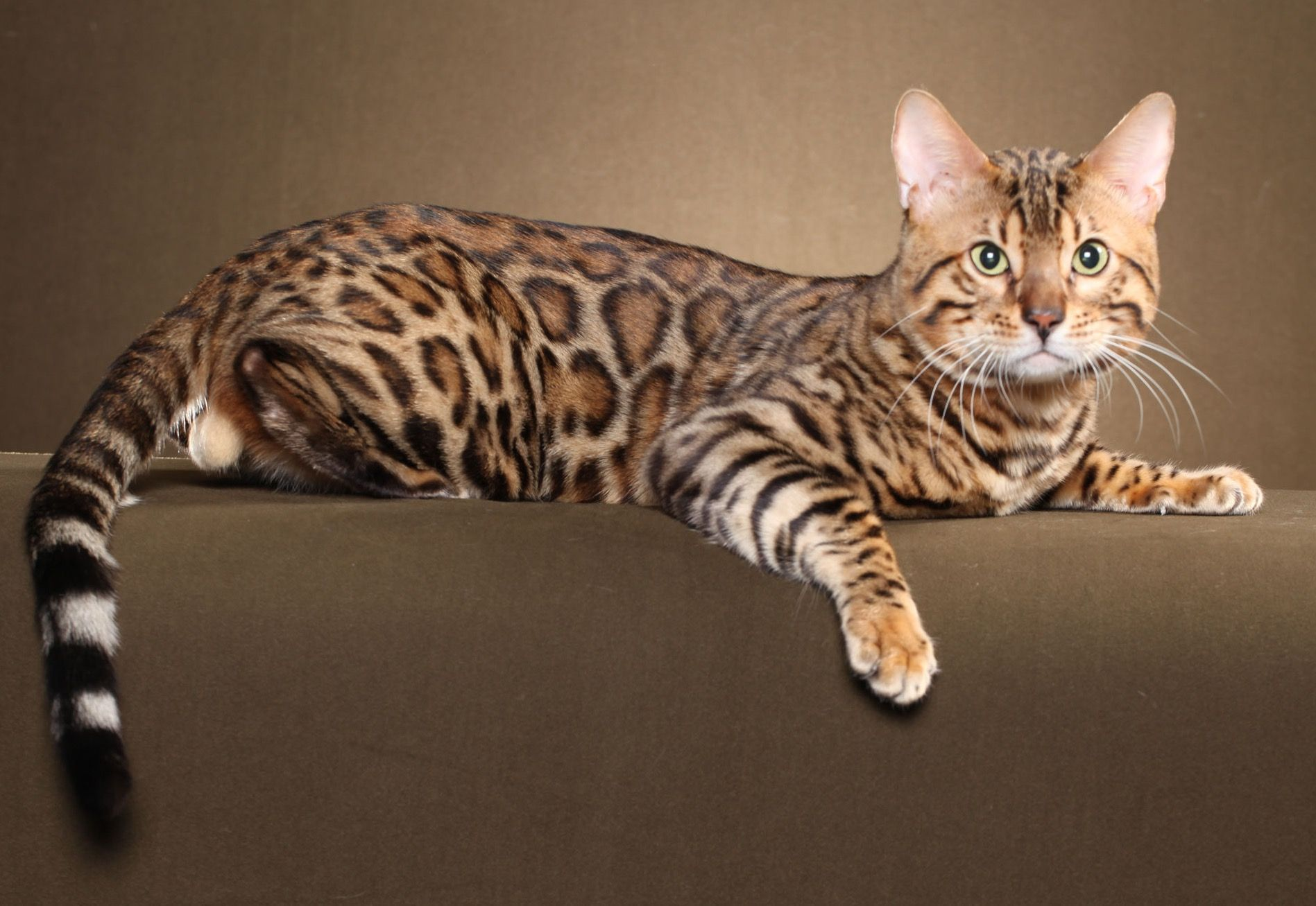 Pin by Clare Hatcher on Bengals Rare cats, Cats