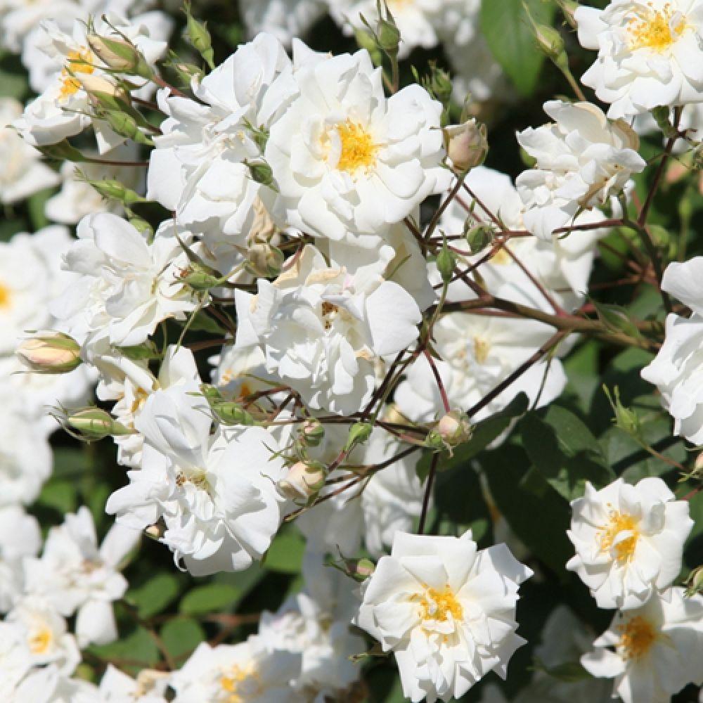 Incroyable The Lady Scarman; 200 250cm; Creme, Weiße Blüten: Halb Gefüllt,