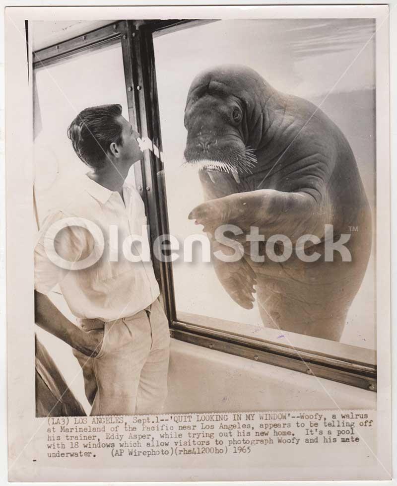 Woofy The Wise Walrus Tells It Like It Is At Marineland Los Angeles Vintage News Press Photo