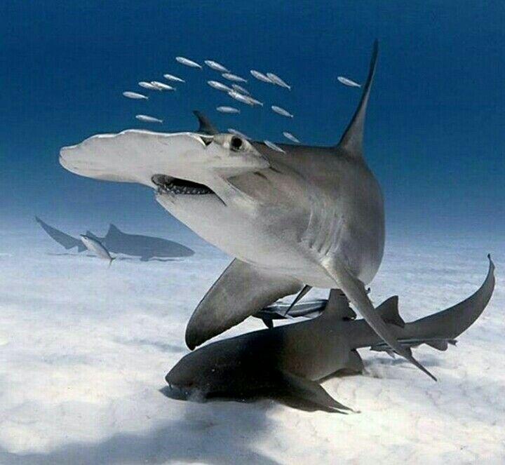 Tiburón martillo   Fauna Marina   Pinterest   Tiburón martillo y ...