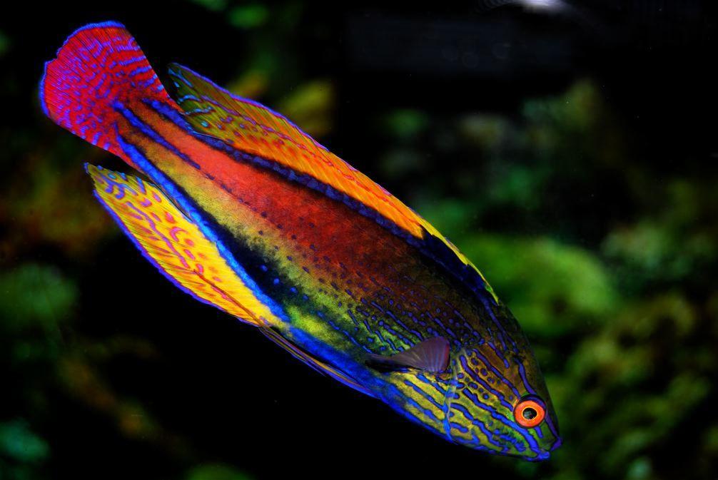 Purplelined Fairy Wrasse Cirrhilabrus Linneatus Saltwater Fish Tanks Marine Fish Salt Water Fish