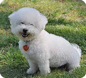 Suffolk Va Bichon Frise Meet Rosie A Dog For Adoption Bichon Frise Bichon Frise Dogs Pets