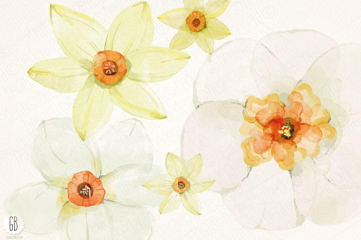 Watercolor narcissus, daffodils Daffodils, Daffodil