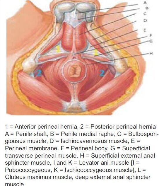 Male Pelvic Area Anatomical Structure Anatomynote
